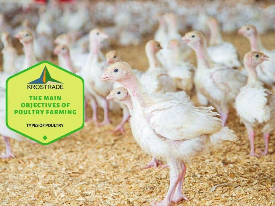 Huvudmålen för fjäderfäuppfödning i 7 enkla termer
